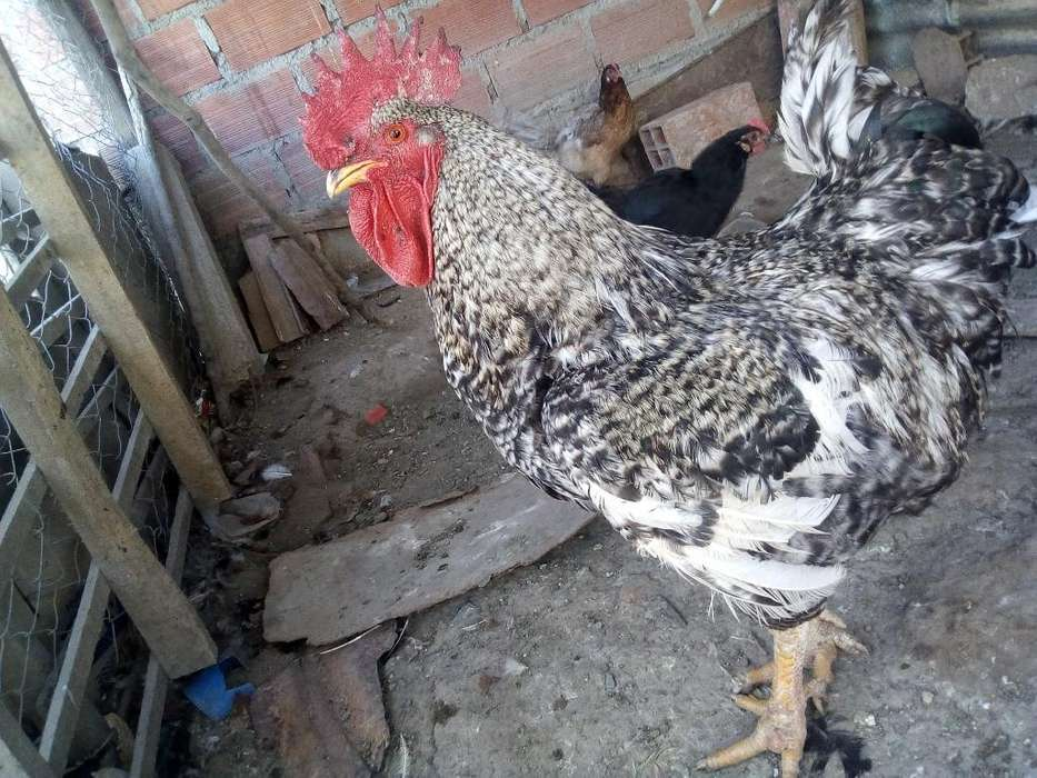 Vendo Gallo