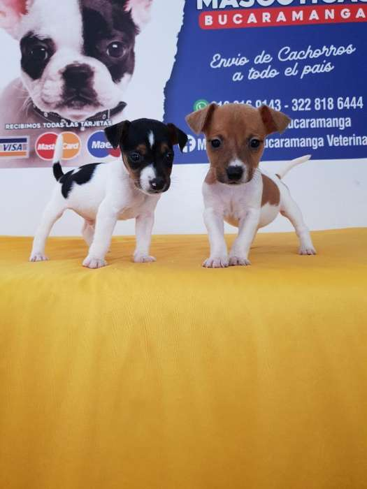 Vendo Jack Russell <strong>terrier</strong> Reales