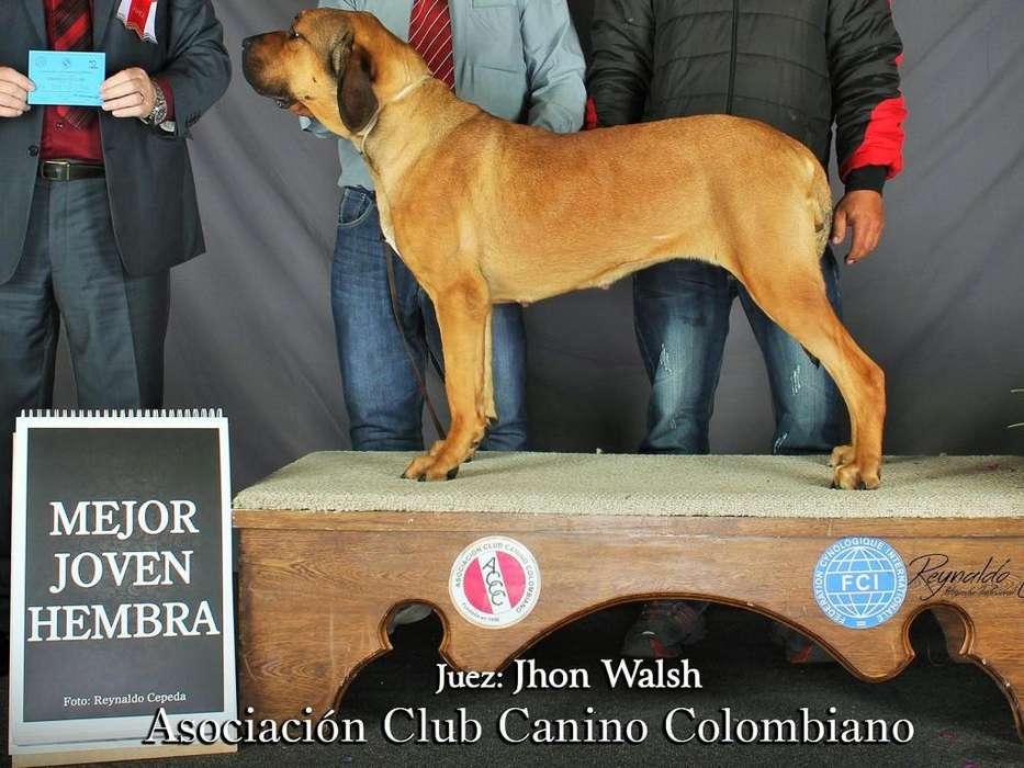 <strong>cachorro</strong>S FILA BRASILERO ULTIMA HEMBRA