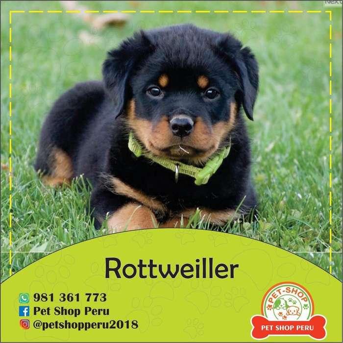 Rottweiller - Golden Retriever Trujillo