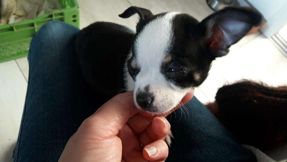 Pequeña Chihuahua