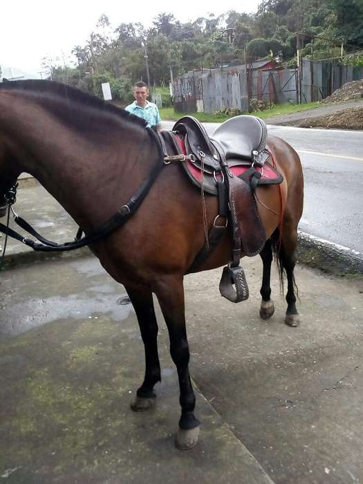<strong>caballo</strong> de Paso Fino