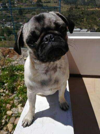 Vendo hermosa Pug 8 meses de edad.