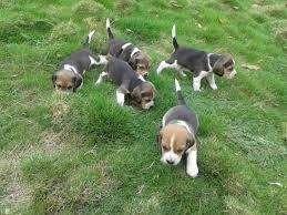 bellos <strong>beagle</strong> mini puros