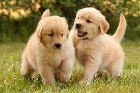 golden retriver cachorros