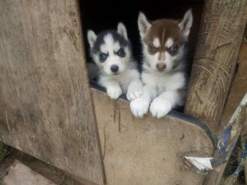 CACHORROS RAZA PURA Yorkshire Terrier, Shih Tzu, Pug, Golden Retriever PRECIOSOS DESDE