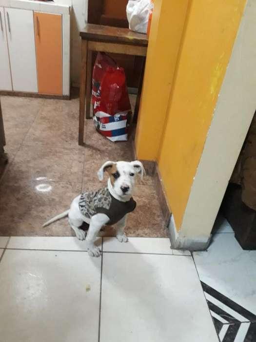 Cachorrapit D 3meses con Todas L Vacunas