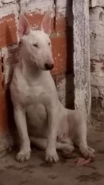 Vendo Bull Terrier Macho