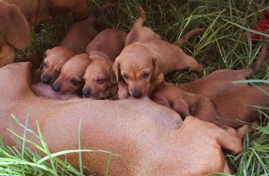Cachorros salchicha teckel pedigree de los padres a la vista