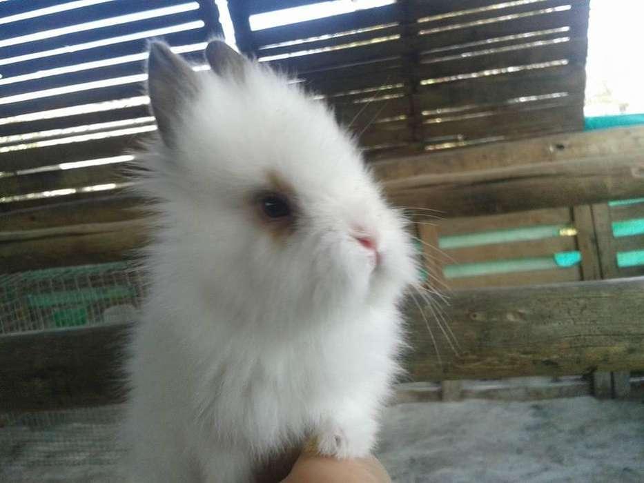 Conejos Enanos Cabeza de León de un mes de edad