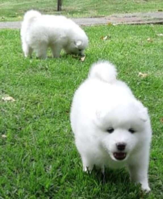 de Exportación Cachorro <strong>samoyedo</strong>