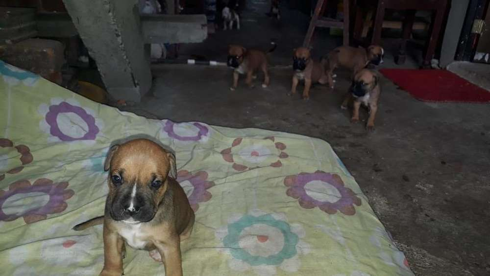 <strong>cachorro</strong>s Boxer