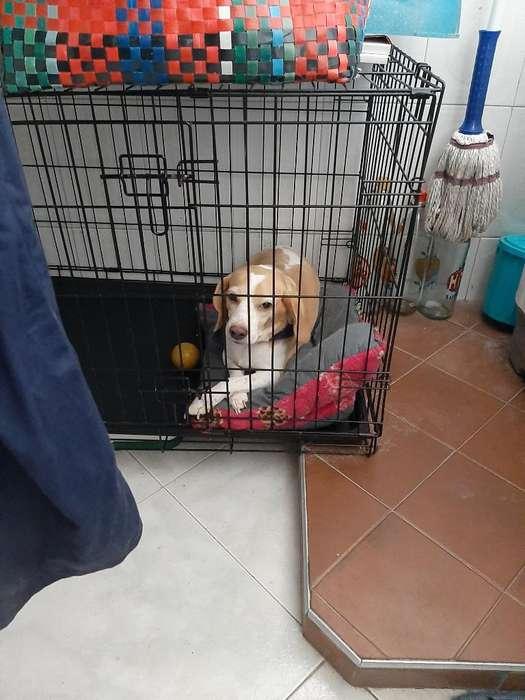 Doy en Adopcion Perrita Beagle
