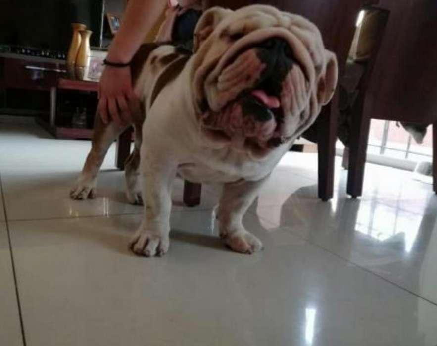 Bulldog Ingles Inseminación