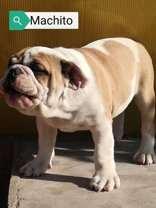 Último Cachorro <strong>bulldog</strong> Ingles Disponibl