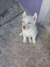 risueños husky blanco felices