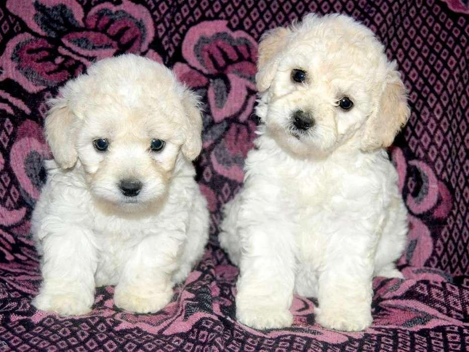 Cachorros Poodle Raza Pequeña * Garantía de Raza y Salud