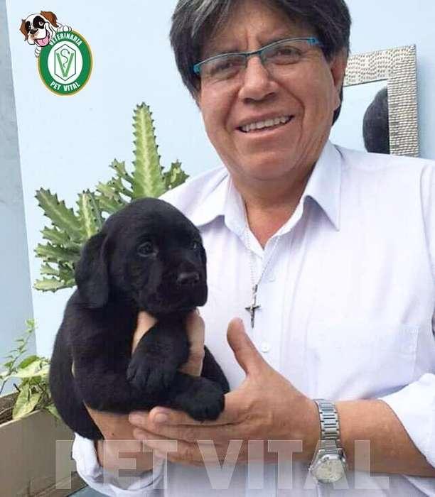 CACHORROS HERMOSOS LABRADOR NEGRO EN PET VITAL !!!