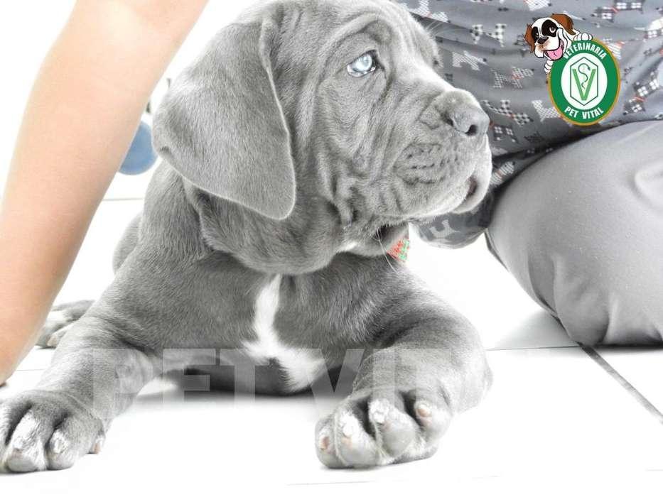 <strong>cachorro</strong>S PRECIOSOS MASTÍN NAPOLITANO EN PET VITAL !!