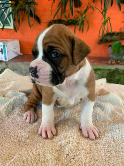 Cachorros Raza <strong>boxer</strong>