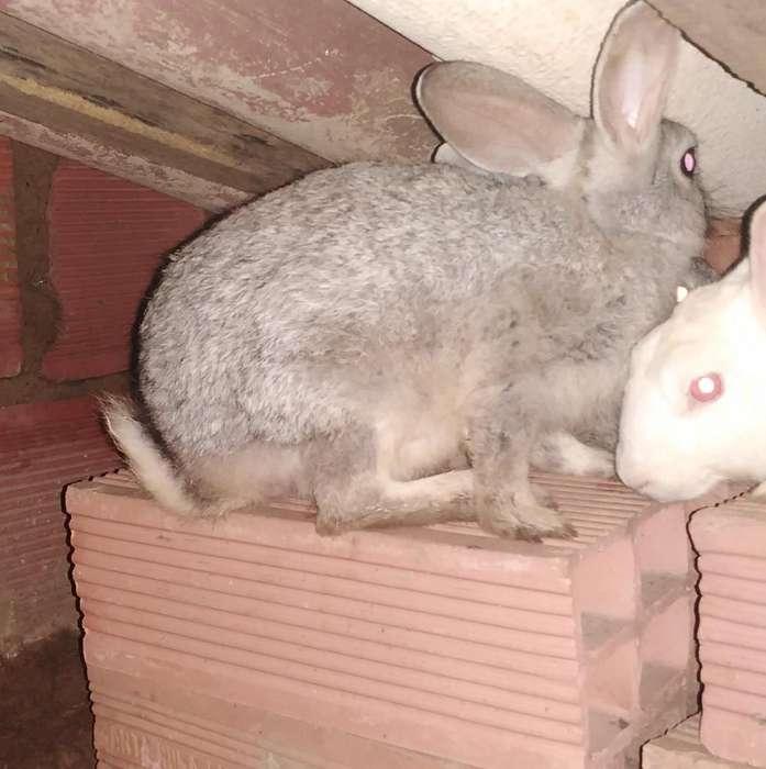 Conejo macho de 3 meses Inf al privado o Wp 3115689961