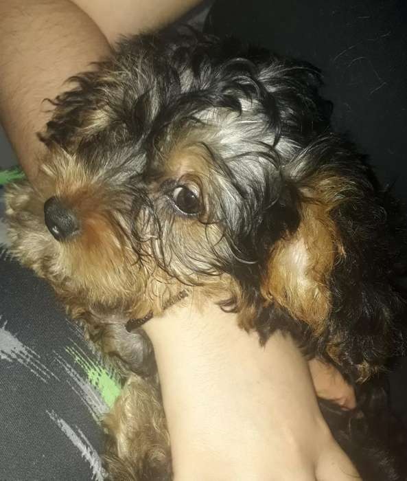 Se Vende <strong>cachorro</strong> Yorkshire Terrier