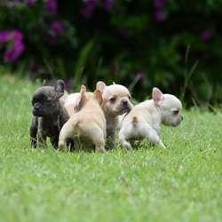 Bulldog Francés de Cancan Mascotas