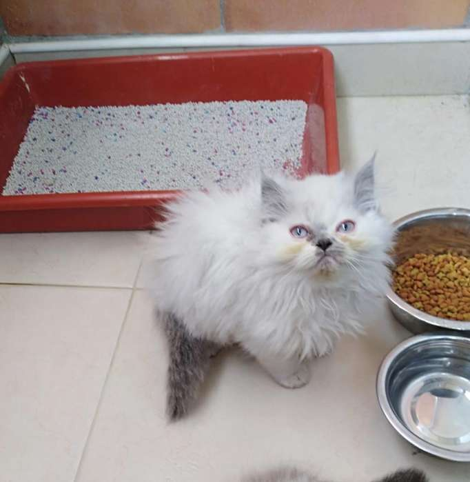 Gato Persa Himalayo Blue Point