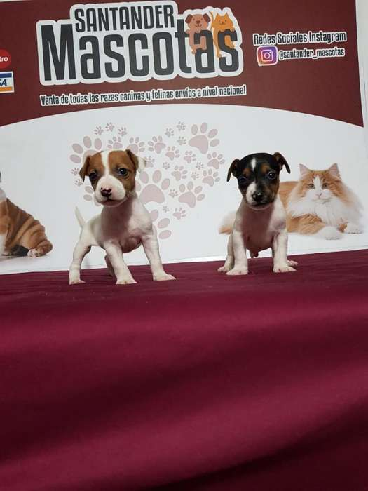 Calidad de Cachorro Jack Russell <strong>terrier</strong>