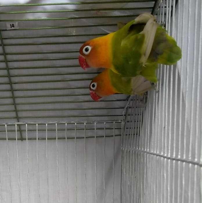 Aves Personatas Limón