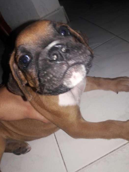 Se Vende Cachorro <strong>boxer</strong> Macho
