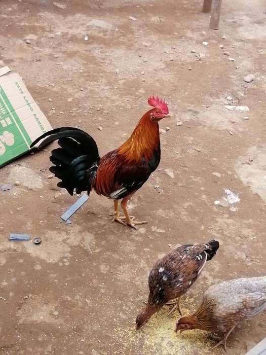Gallos Y <strong>pollos</strong> en Cuido