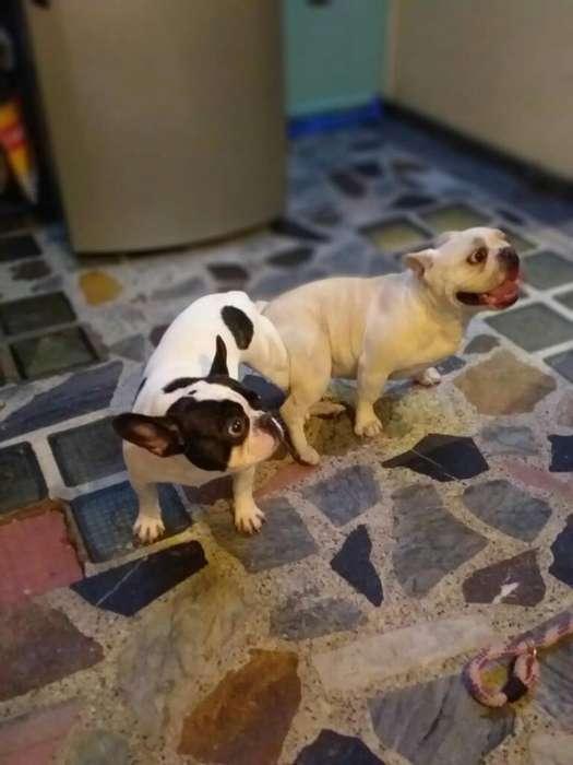 Perro Bulldog Francés Monta Linia Vaca