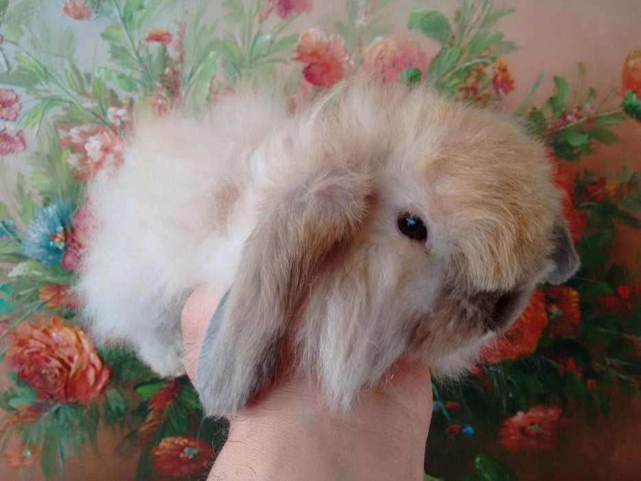 *oferta*: CONEJOS FUZZY LOP Conejos de Pelo Largo y Orejas Caídas en Bogotá