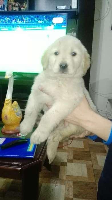 Venta Cachorros Golden Retriber