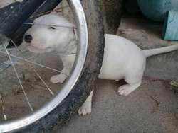 Se Vende Cachorros Bull Terrier
