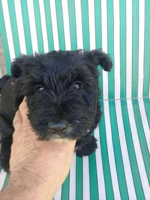 Vendo Cachorros de Scottih Terrier