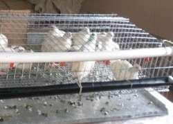 Bebedores de Agua Automático tipo niple para gallinas aves