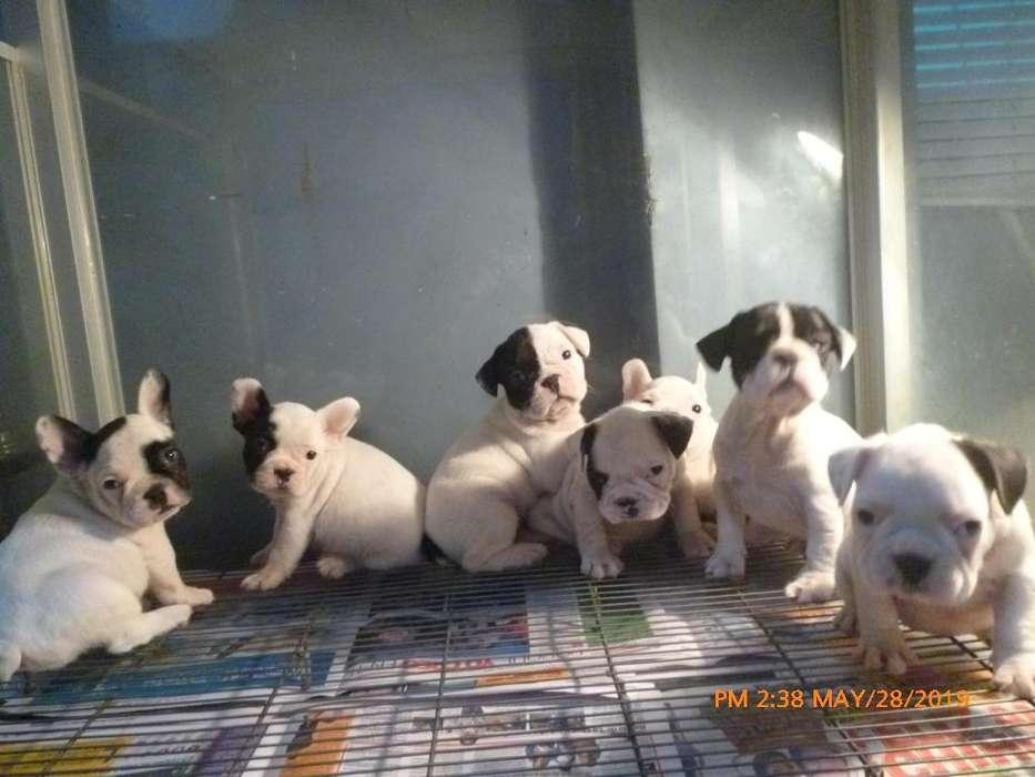 bulldog frances cachorros a1 padre pedigri dorado kcp rd 991700816