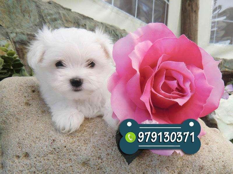 Preciosos Cachorros Maltes Vacunados Y Desparasitados * Garantía de Raza y salud