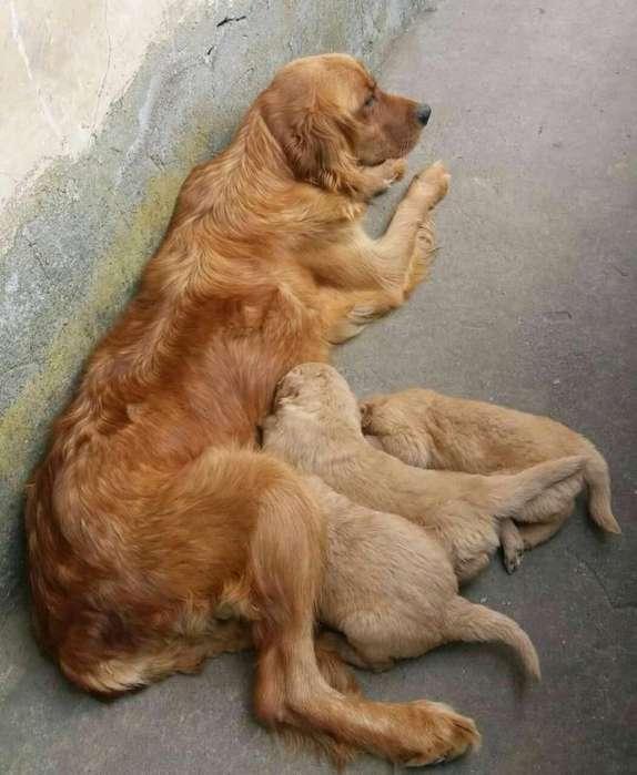 Lindos Cachorritos Golden Retriber a La
