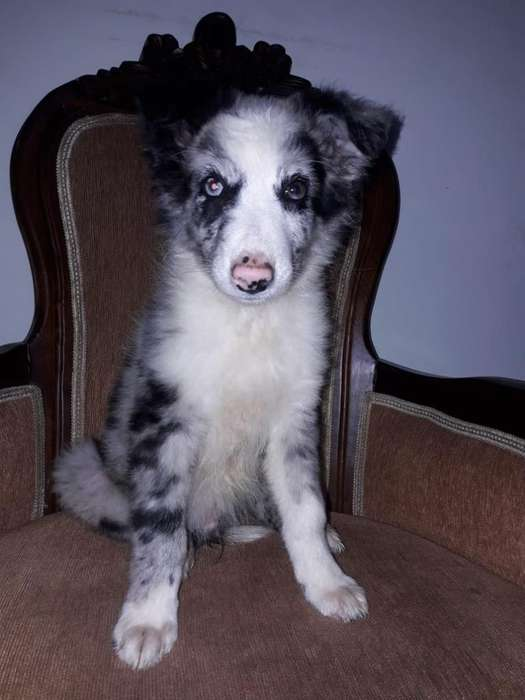 Pastor <strong>collie</strong> Macho Blue Merle en Medell