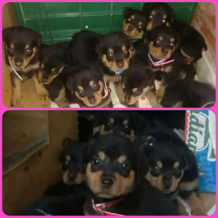 Hermosas <strong>rottweiler</strong>