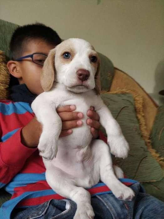Se Vende Un Lindo Beagle