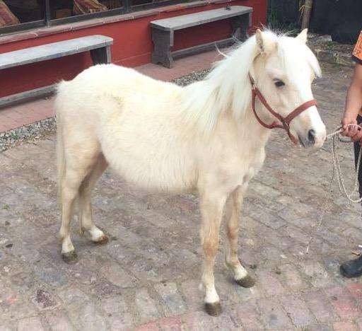 Pony Isabellino Macho Entero