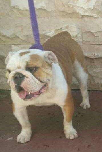 <strong>bulldog</strong> Ingles Adulta a Entrar en Celo