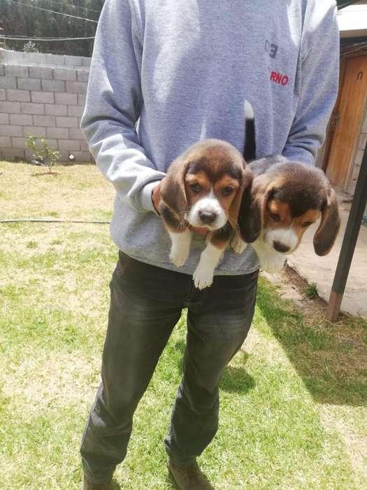 Se Vende Hermoso Cachorros <strong>beagle</strong> Telf:0