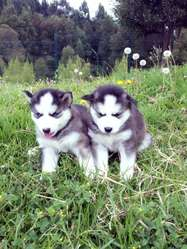 Husky Siberianos PADRES DE PEDIGREE CHOCOLATES Y NEGROS