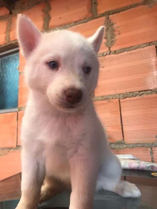 Husky Siberiano Blanca