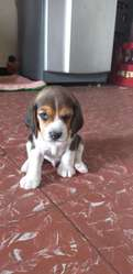 Originales Beagles